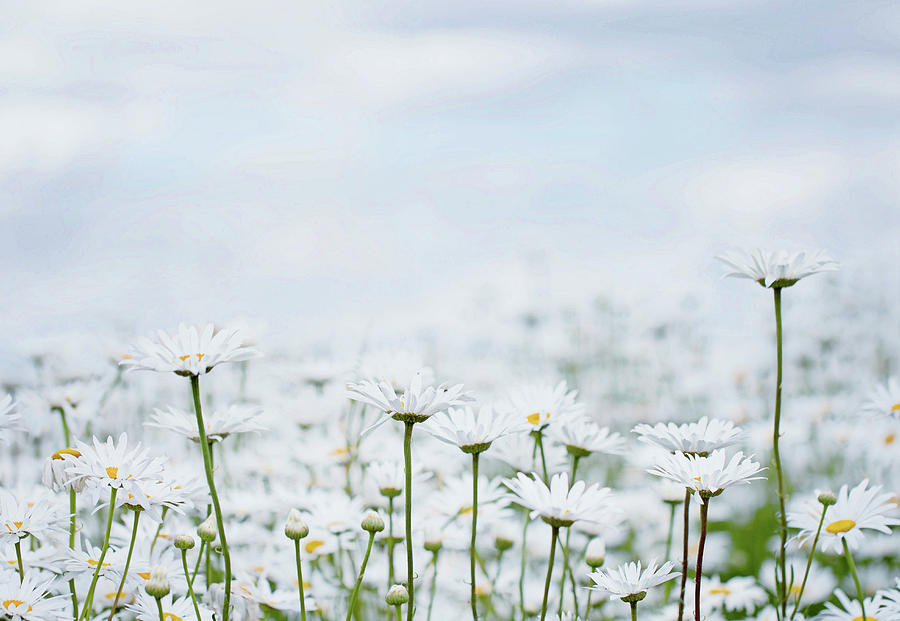 White Daisies in Summer Sunshine 2 by Rebecca Cozart