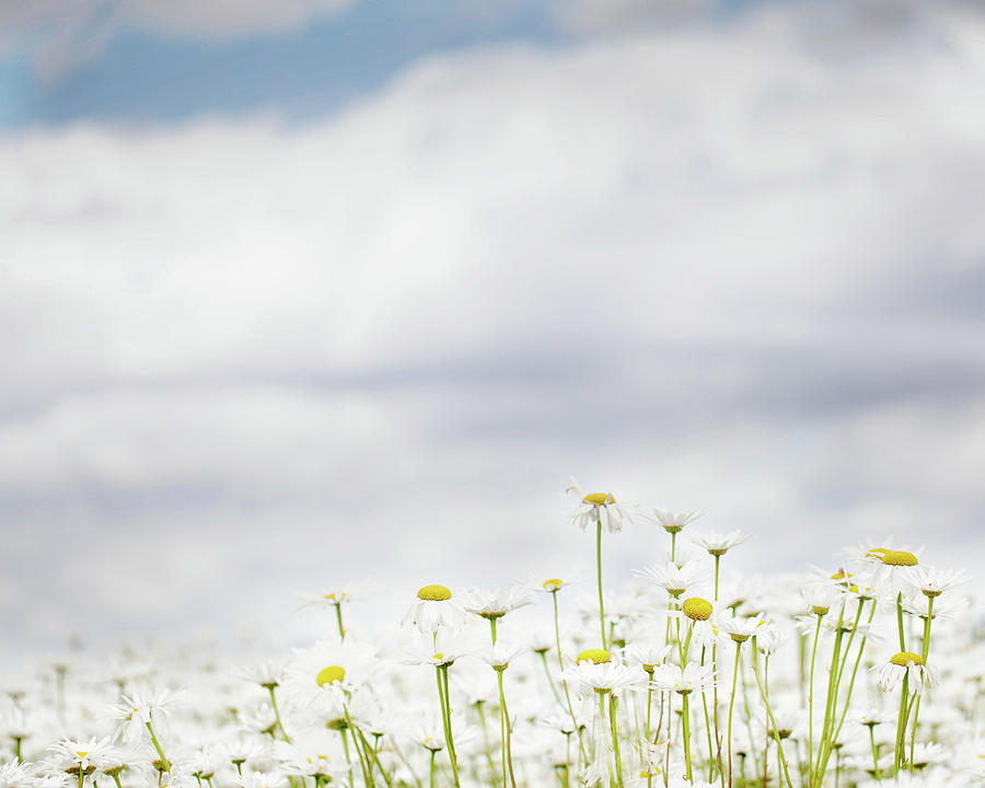 White Daisies in Summer Sunshine by Rebecca Cozart