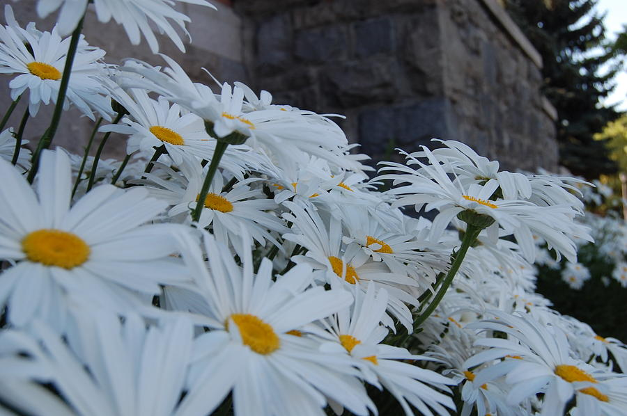 Daisy Photograph - White Daisies by Jean Booth