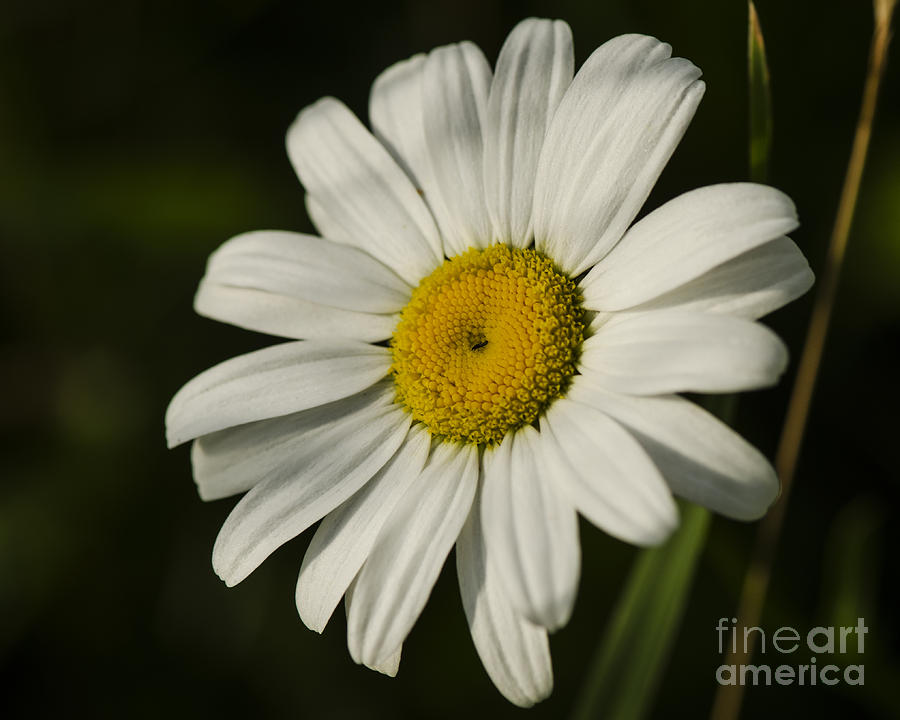 White Daisy Flower by JT Lewis
