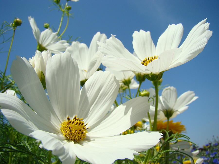 Daisy Photograph - White Daisy Flowers Fine Art Photography Daisies Baslee Troutman by Baslee Troutman