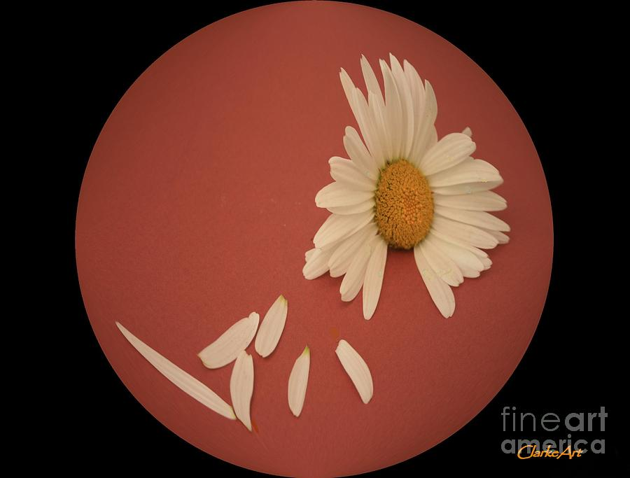 Daisies Photograph - Encapsulated Daisy With Dropping Petals by Jean Clarke