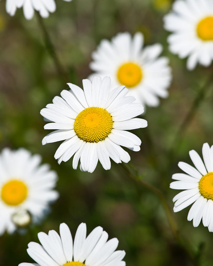 Flower Photograph - White Dasies by Edward Myers