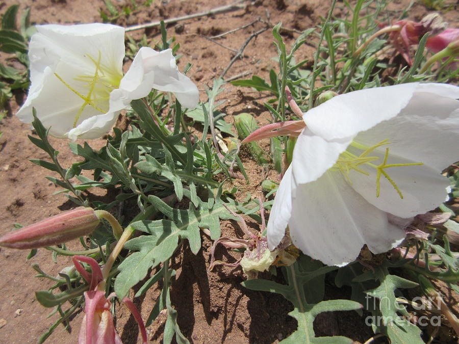 White Desert Flowers Photograph By Frederick Holiday