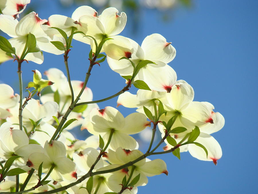 Dogwood Photograph - White Dogwood Flowers 1 Blue Sky Landscape Artwork Dogwood Tree Art Prints Canvas Framed by Baslee Troutman