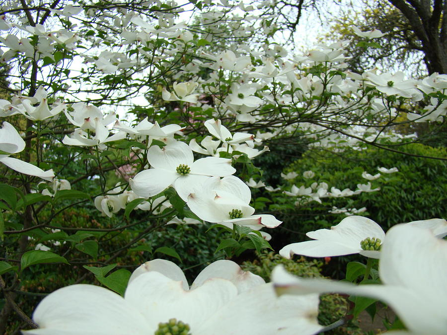 White dogwood flowers 6 dogwood tree flowers art prints baslee dogwood photograph white dogwood flowers 6 dogwood tree flowers art prints baslee troutman by baslee mightylinksfo
