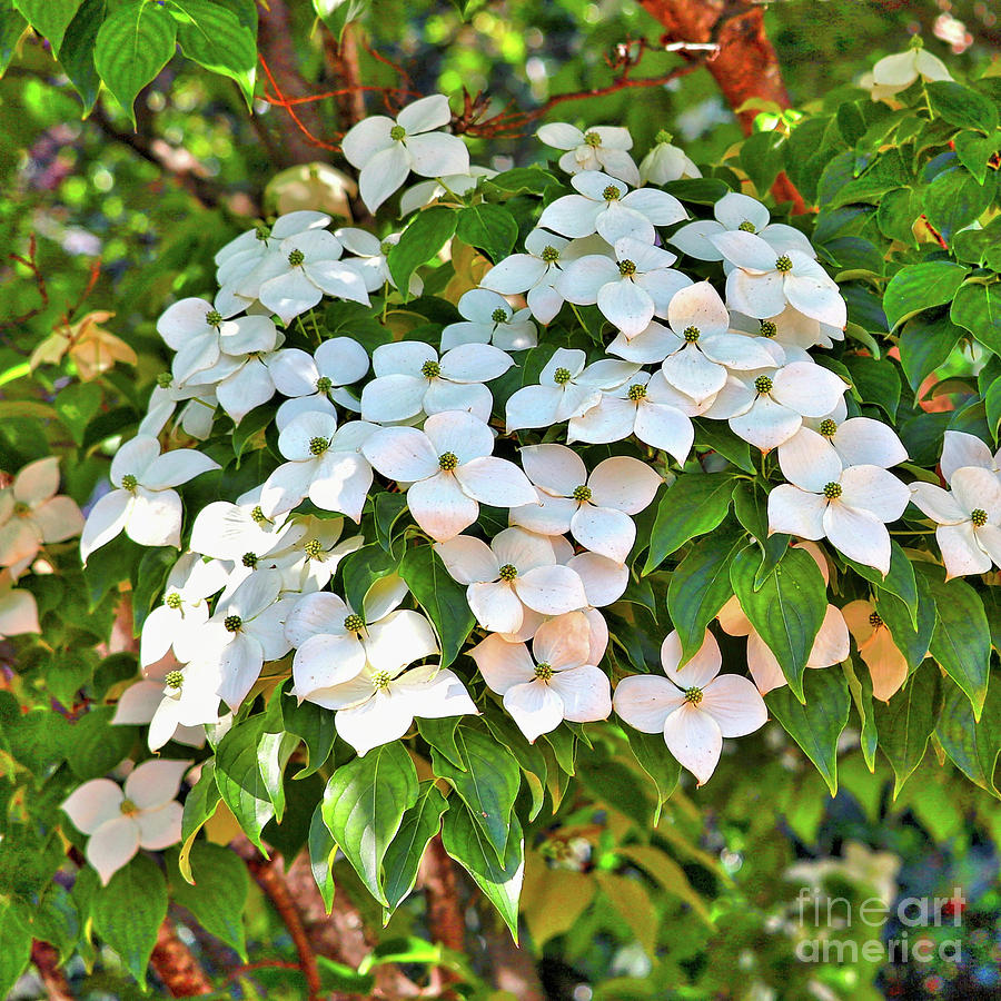 White Dogwood Tree Bouquet Photograph By Carol Groenen