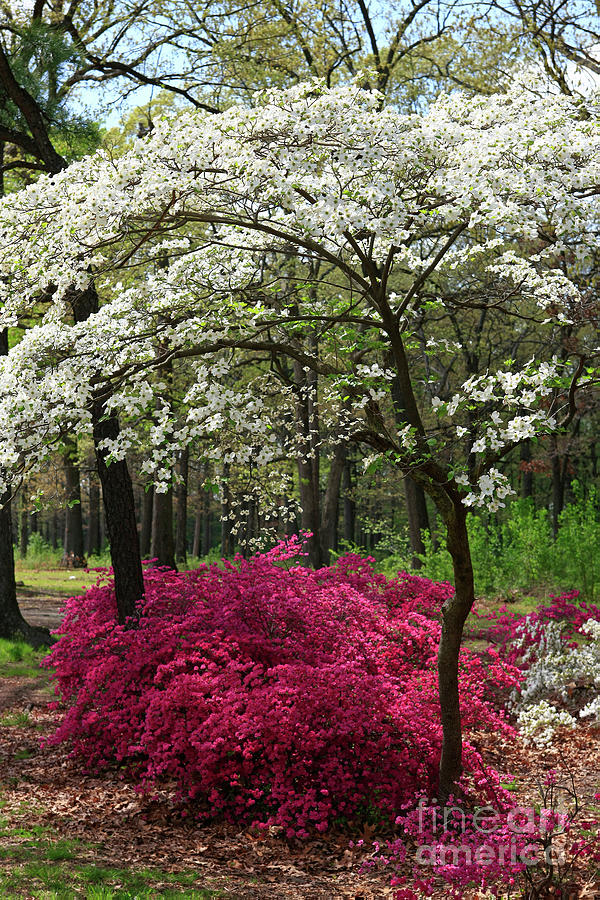 White Dogwood Tree With Brilliant Pink Azaleas Photograph By Tim