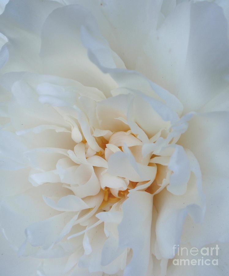 Flower Photograph - White Dream by Valia Bradshaw