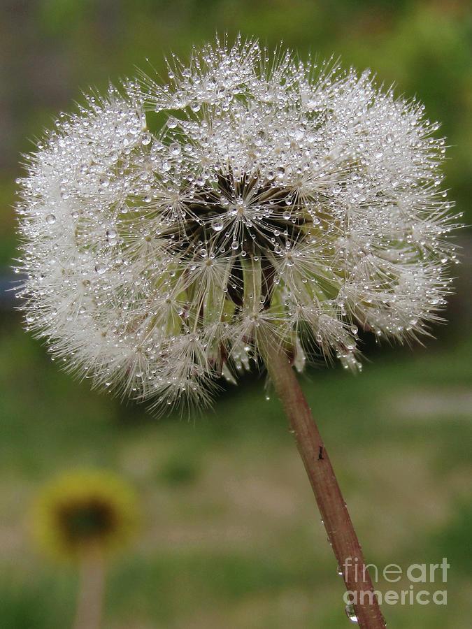 Dandelion Photograph - White Droplets by Kim Tran