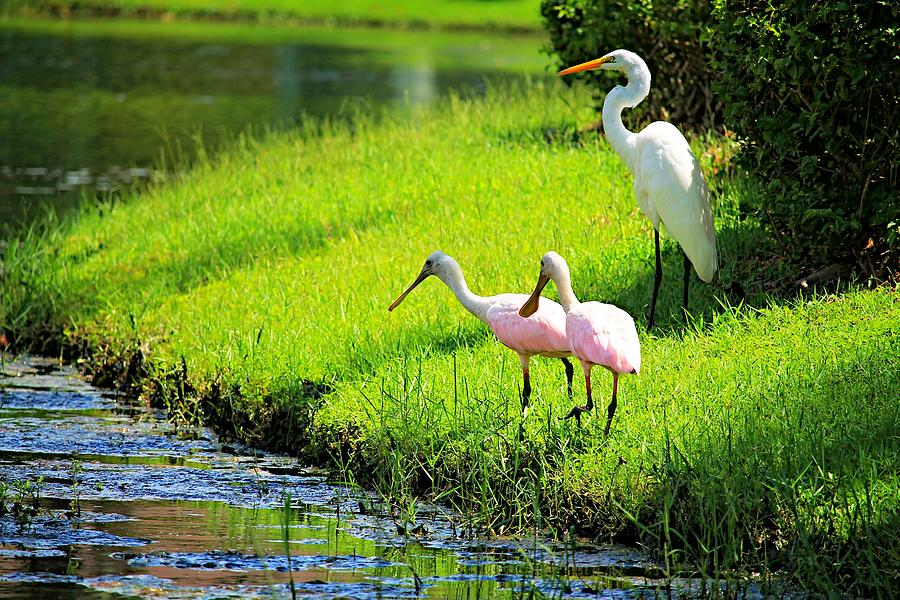 Egret Photograph - White Egret And Roseate Spoonbills by Vicki Dreher
