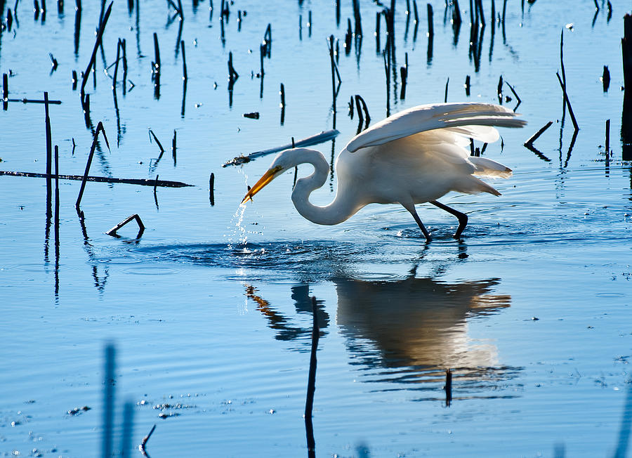 Bird Photograph - White Egret At Horicon Marsh Wisconsin by Steve Gadomski