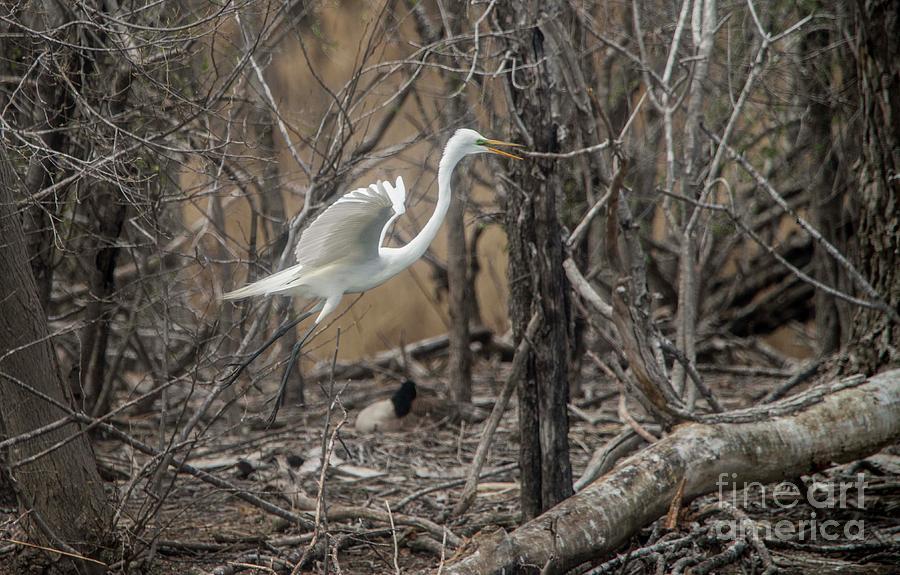 White Photograph - White Egret by David Bearden