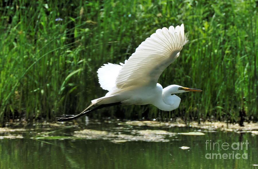 Bird Photograph - White Egret In Flight by Elaine Manley