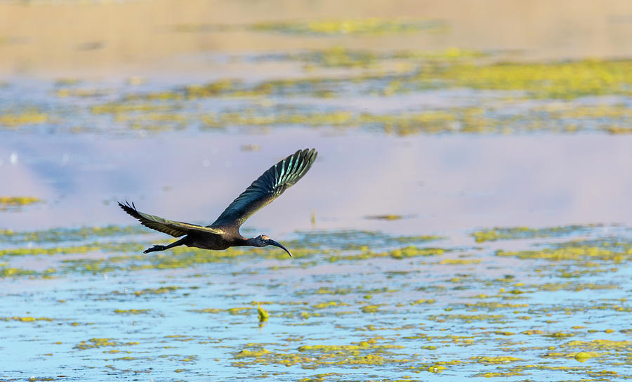 White Faced Ibis Photograph - White Face Ibis In Flight 2 by Rick Mosher