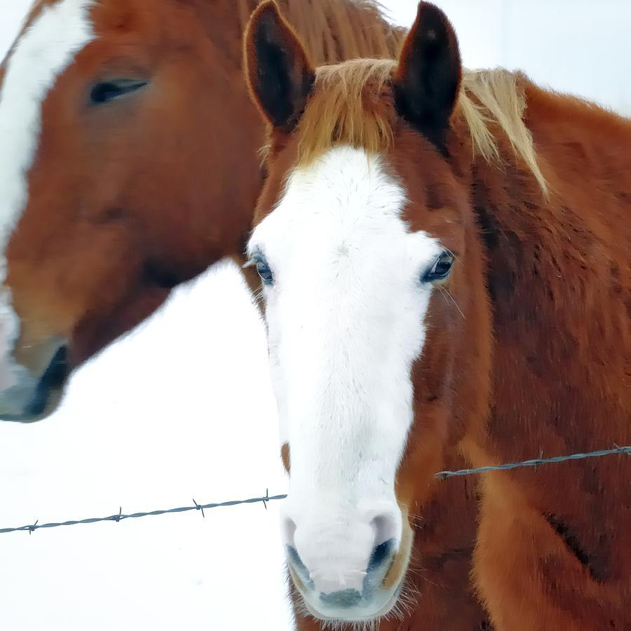 White Face Quarterhorse 13220 Photograph