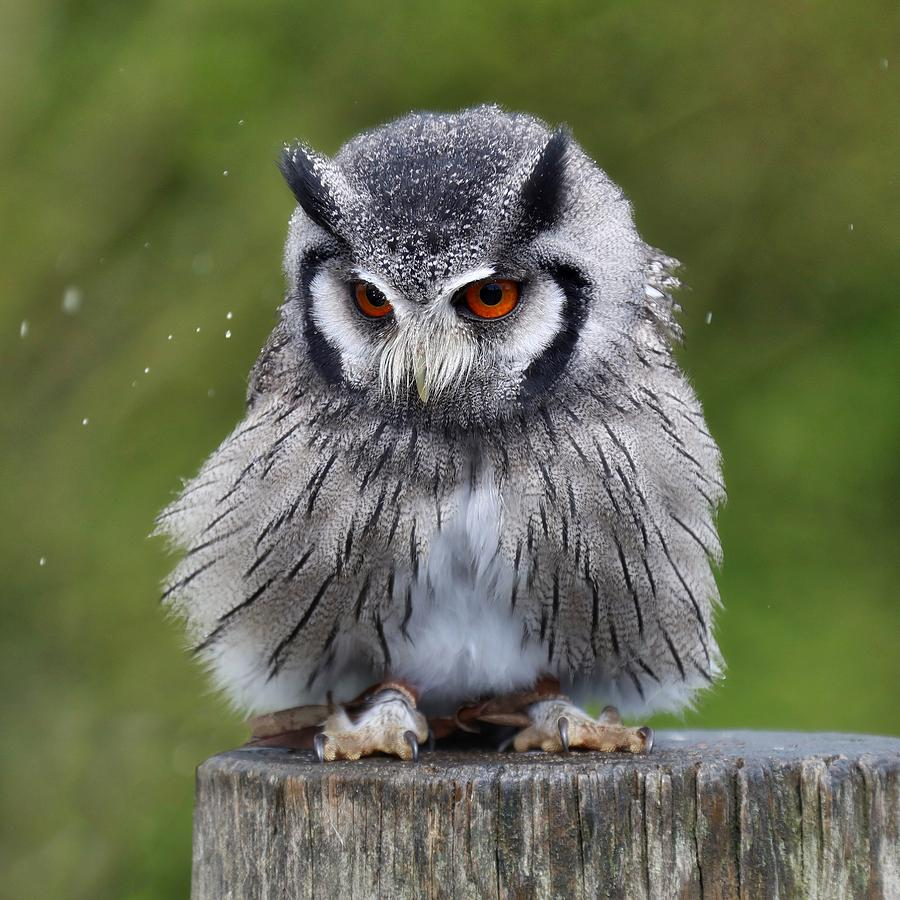White Photograph - White Faced Owl by James Kenning