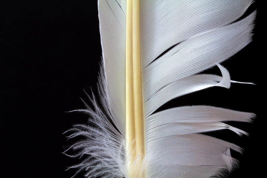 Feather Photograph - White Feather by Bob Orsillo
