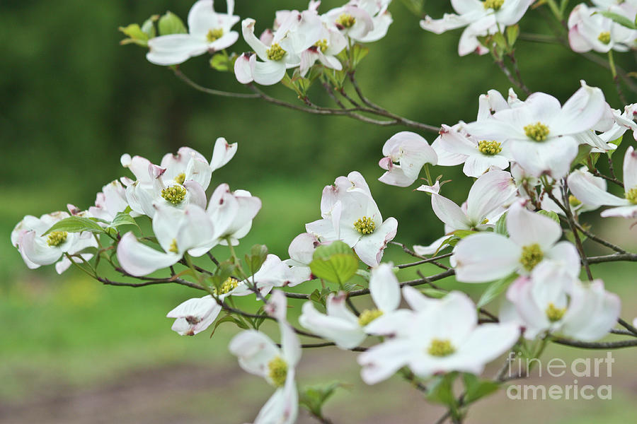 White flowering dogwood photograph by ann murphy gardens photograph white flowering dogwood by ann murphy mightylinksfo