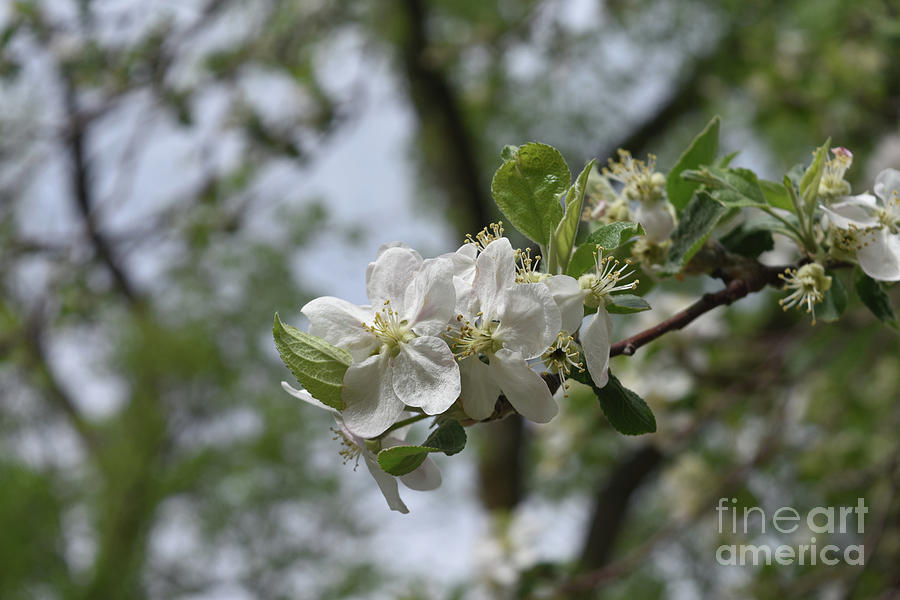 White Flowering Japanese Cherry Tree In Spring Photograph By