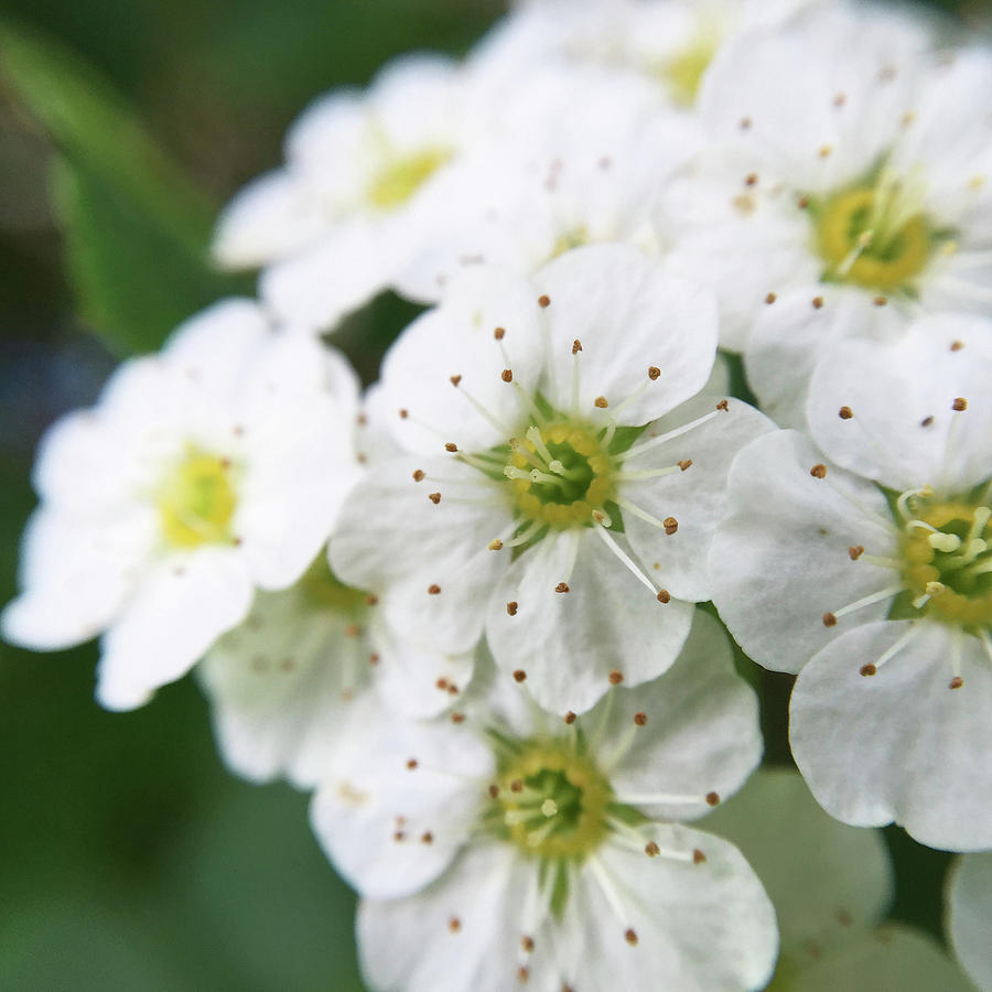 White Flowers Photograph By Delia Quigley