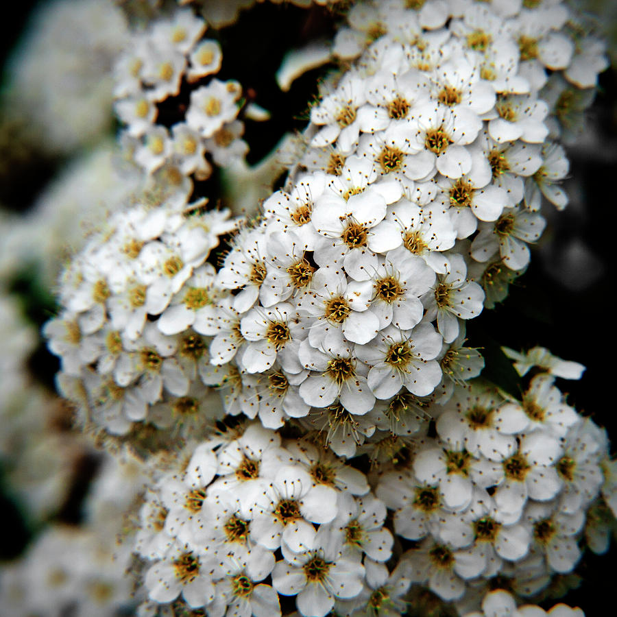Square Photograph - White Flowers In Tennoji Park, Osaka by Photos by Jeremy Tan