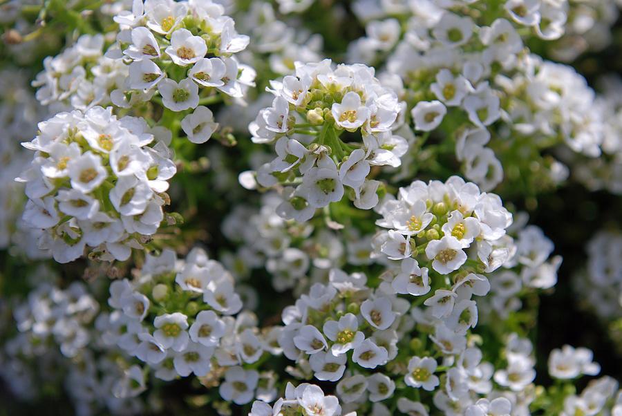 Landscape Photograph - White Flowers by Lisa Gabrius