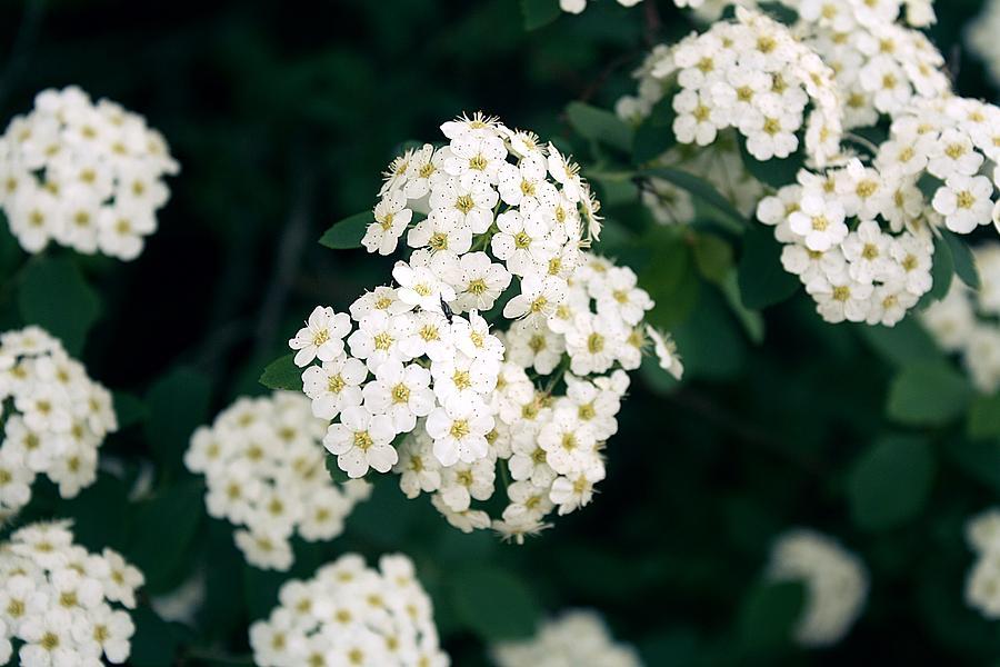 White flowers on bush photograph by erica denise garden photograph white flowers on bush by erica denise mightylinksfo