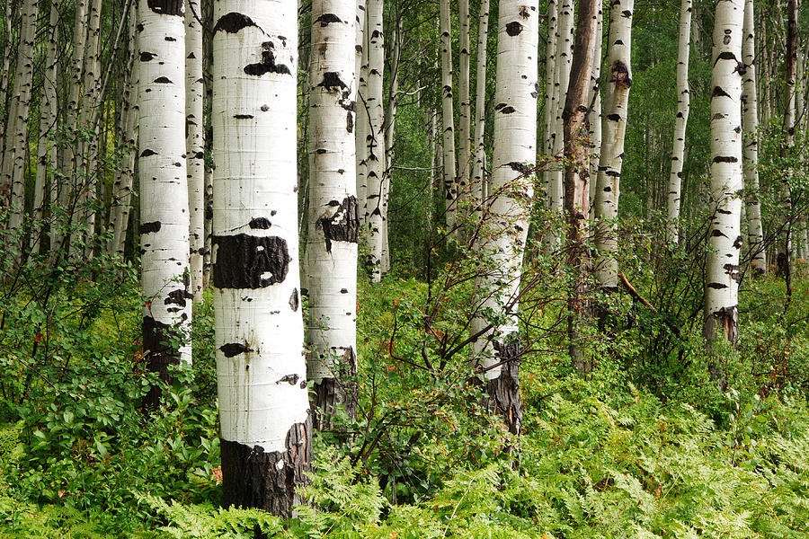 Colorado Photograph - White Forest by Eric Foltz