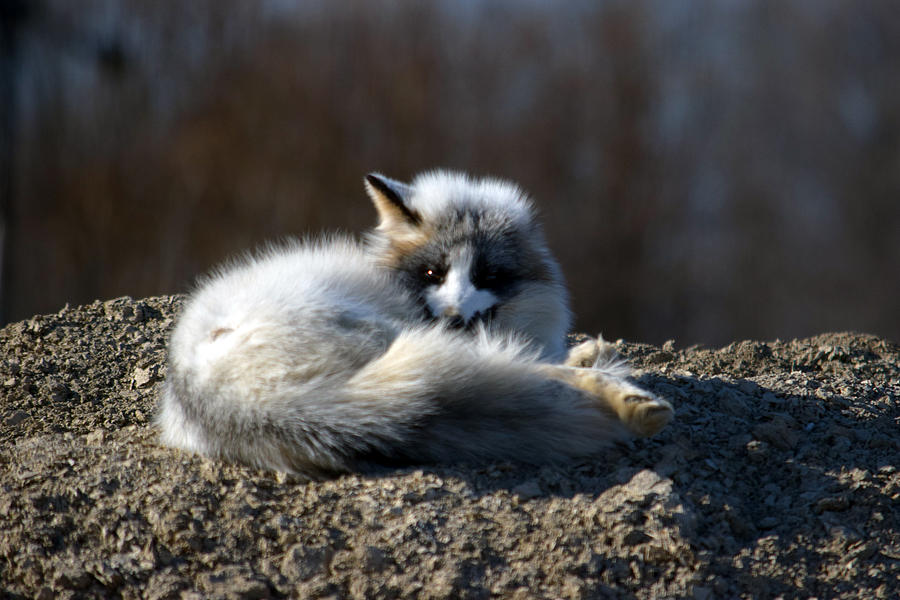 white fox waking up from nap photograph by gerry buckel