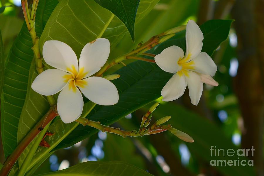 Plumeria Photograph - White Frangipani Flowers by Olga Hamilton