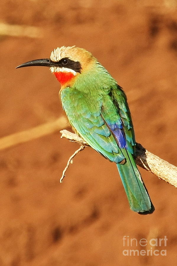 African Photograph - White Fronted Bee Eater by Tom Cheatham