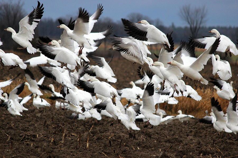 White Geese - Fort Ann, NY by Jake Danishevsky