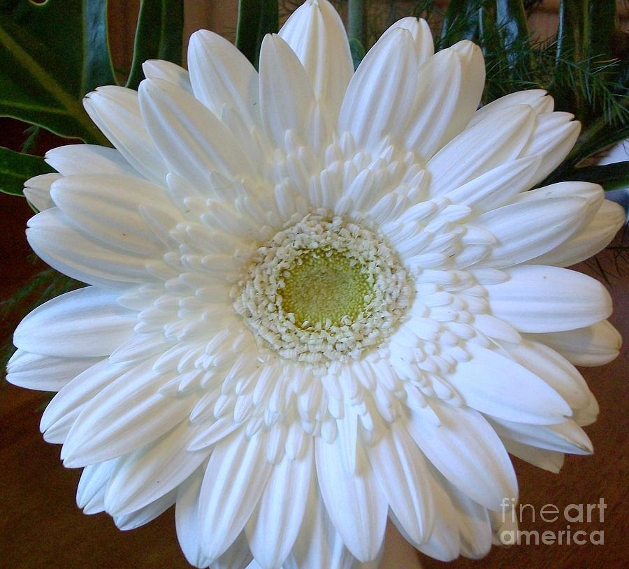Photograph Photograph - White Gerber Beauty by Marsha Heiken