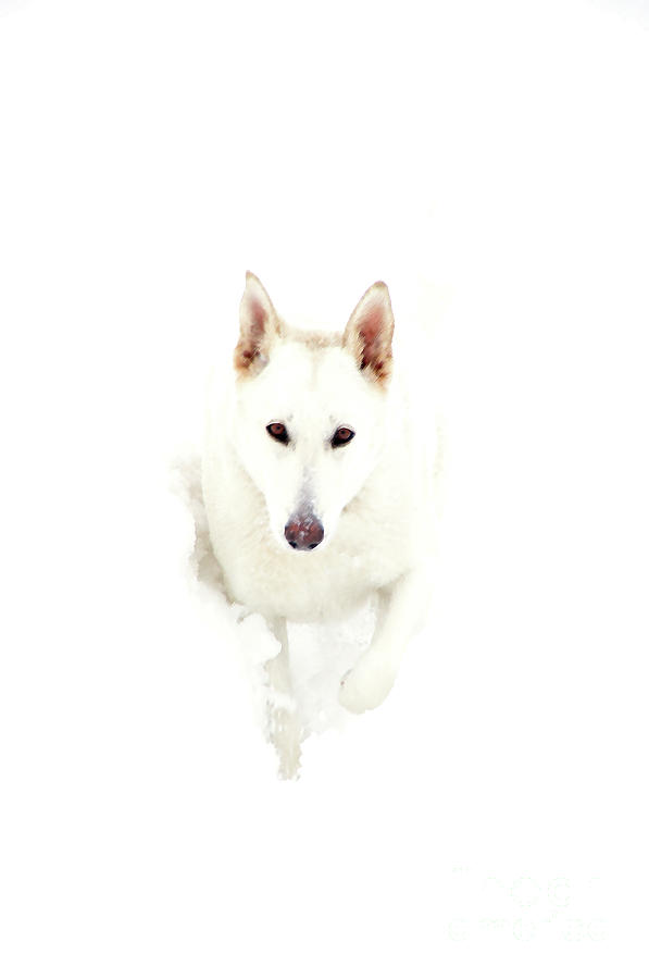 White Photograph - White German Shepherd In Snow by Thomas R Fletcher