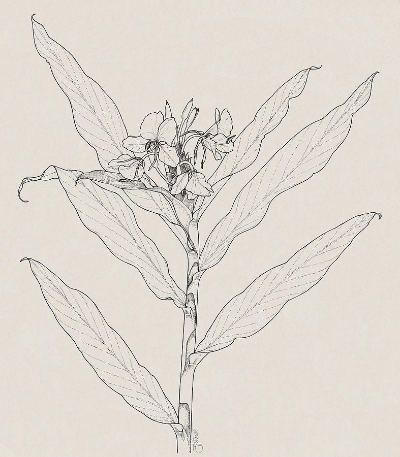 Botanical Illustration Drawing - White Ginger by Judith Kunzle