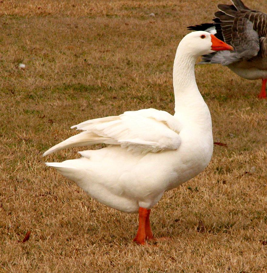 White Goose 2 Photograph By J M Farris Photography