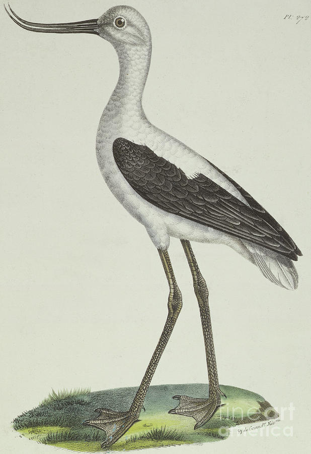 Avocet Drawing - White Headed Avocet by Paul Louis Oudart