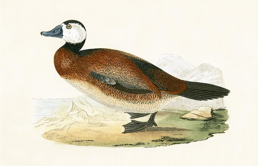 Bird Painting - White Headed Duck by English School