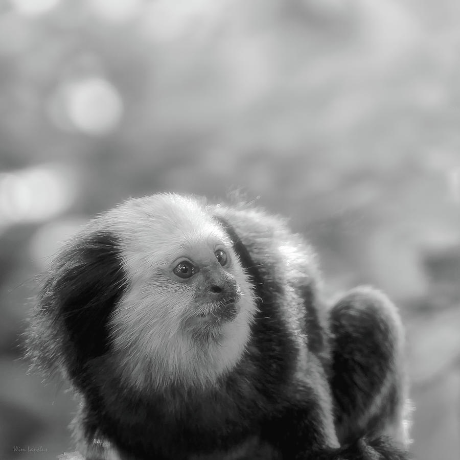White Head Photograph - White-headed Marmoset by Wim Lanclus