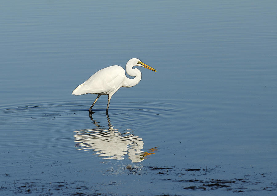 Reflection Photograph - White Heron Reflected by Barry Culling