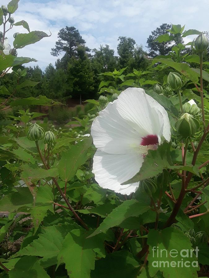 White Hibiscus Beneath The Blue Sky Photograph By Maxine Billings