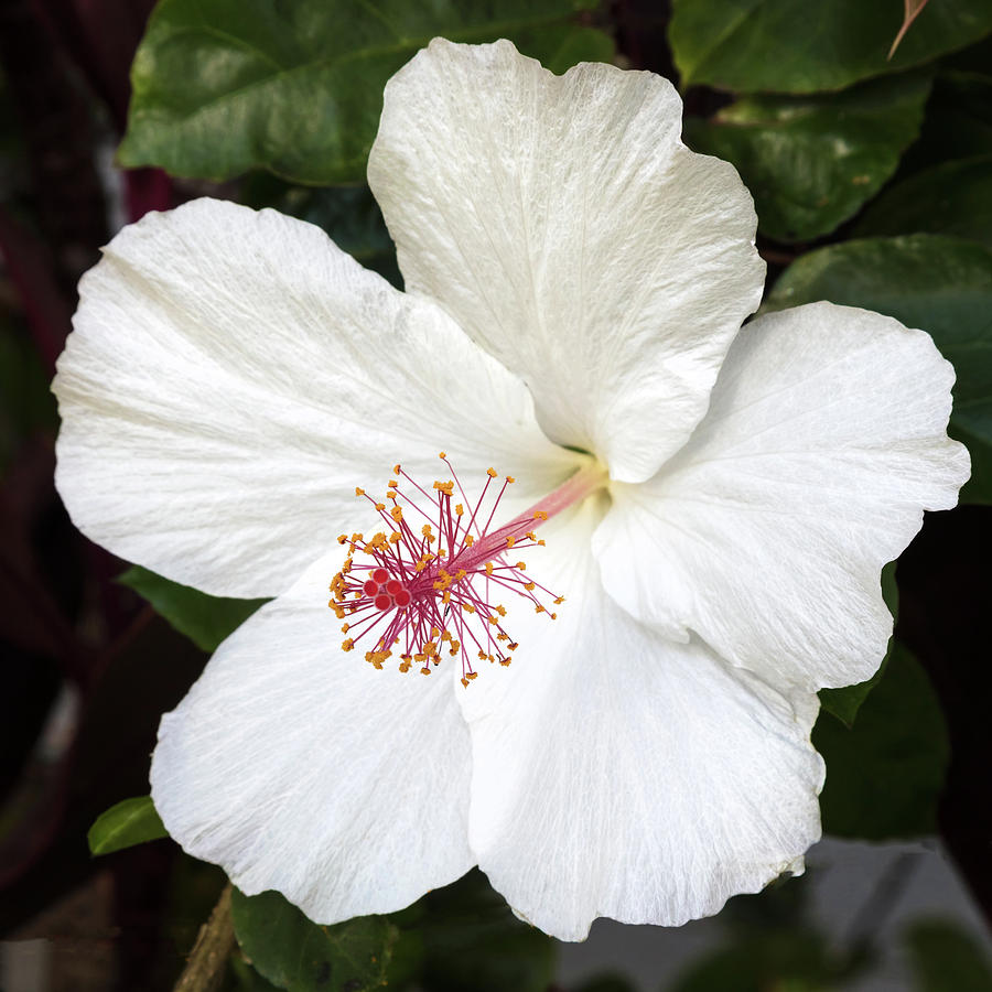 White Hibiscus Flower Photograph By Pierre Leclerc Photography
