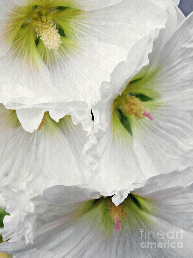 Hollyhock Photograph - White Hollyhocks by Sarah Loft