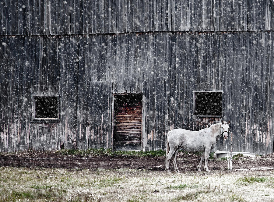 Horse Photograph - White Horse In A Snowstorm  by Maggie Terlecki