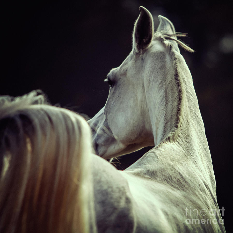 Horse Photograph - White Horse Looking Behind by Dimitar Hristov