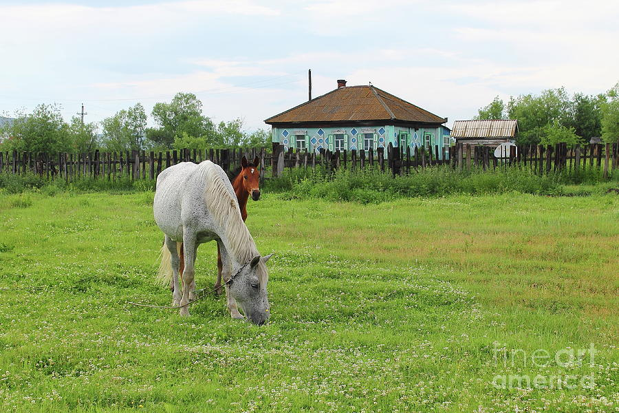 White Horse With His Bay Colt Grazing In A Meadow Photograph