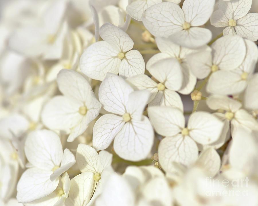 Hydrangea Photograph - White Hydrangea by Kerri Farley