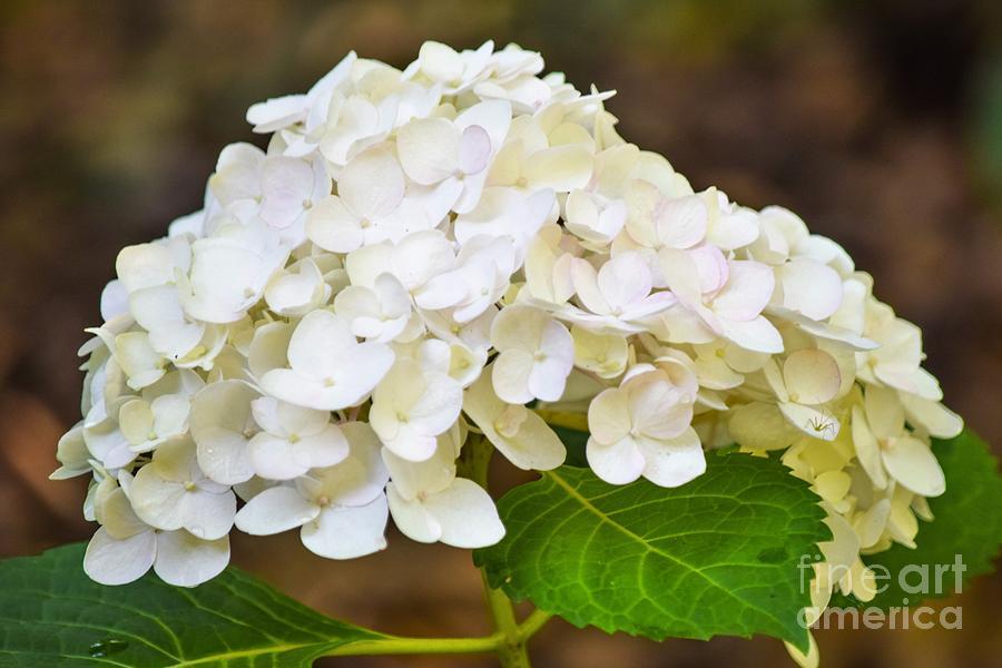 White Hydrangeas Photograph