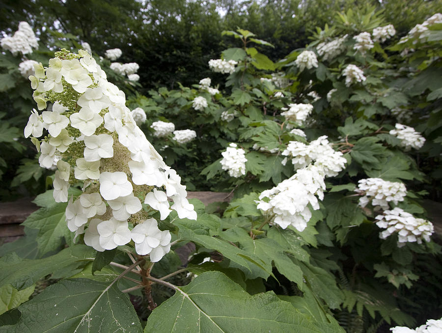 Flowers Photograph - White Hydrangeas by Mary Haber